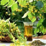 Липовый чай, как заваривать и пить