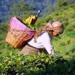Как изготавливают черный чай