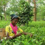 Элитные сорта индийского черного чая