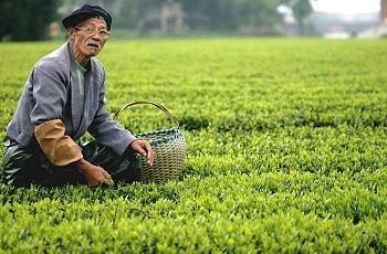 зеленый чай Дун-тин Би-ло
