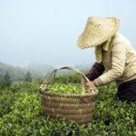 Основные производители белого чая