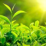 Элитные сорта китайского зеленого чая
