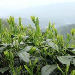 Элитный китайский зеленый чай Тайпин Хоу-куй